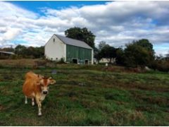 local dairy cow in the field with barn in background